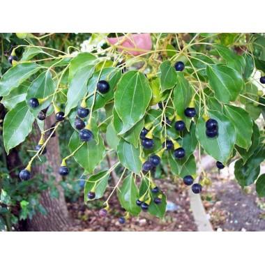 Drzewo Ho