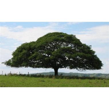 Olejek drzewo Copaiba