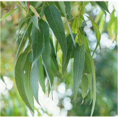 Olejek eukaliptus cytrynowy